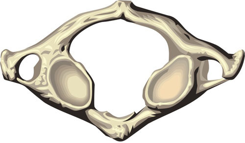 Diagram of Atlas vertebra